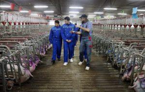 В Калининградской области будет введено в строй еще два свинокомплекса.