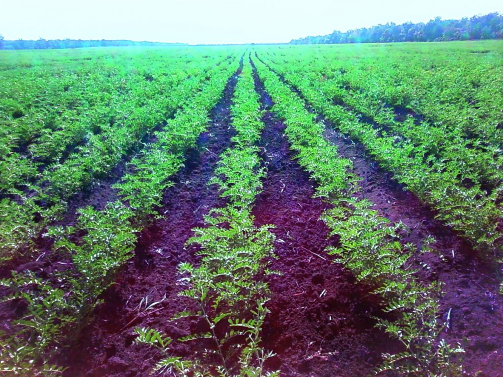 Более 1 тыс. га картофеля посажено в Приморском крае