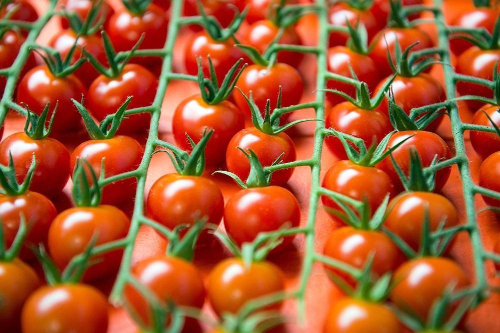 В Россию приходят зараженные турецкие помидоры