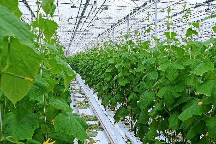 В Хабаровском крае вырос объем производства тепличных овощей