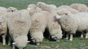 Ставрополье – российский лидер по племенному поголовью овец