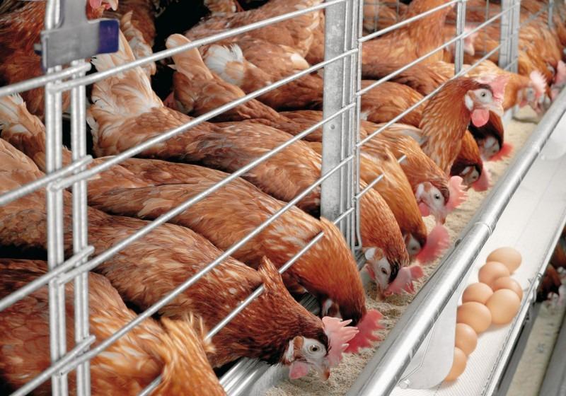 Ярославская область остается в числе лидеров по производству продукции птицеводства