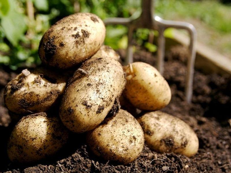 Станет ли картошка деликатесом в 2018 году?