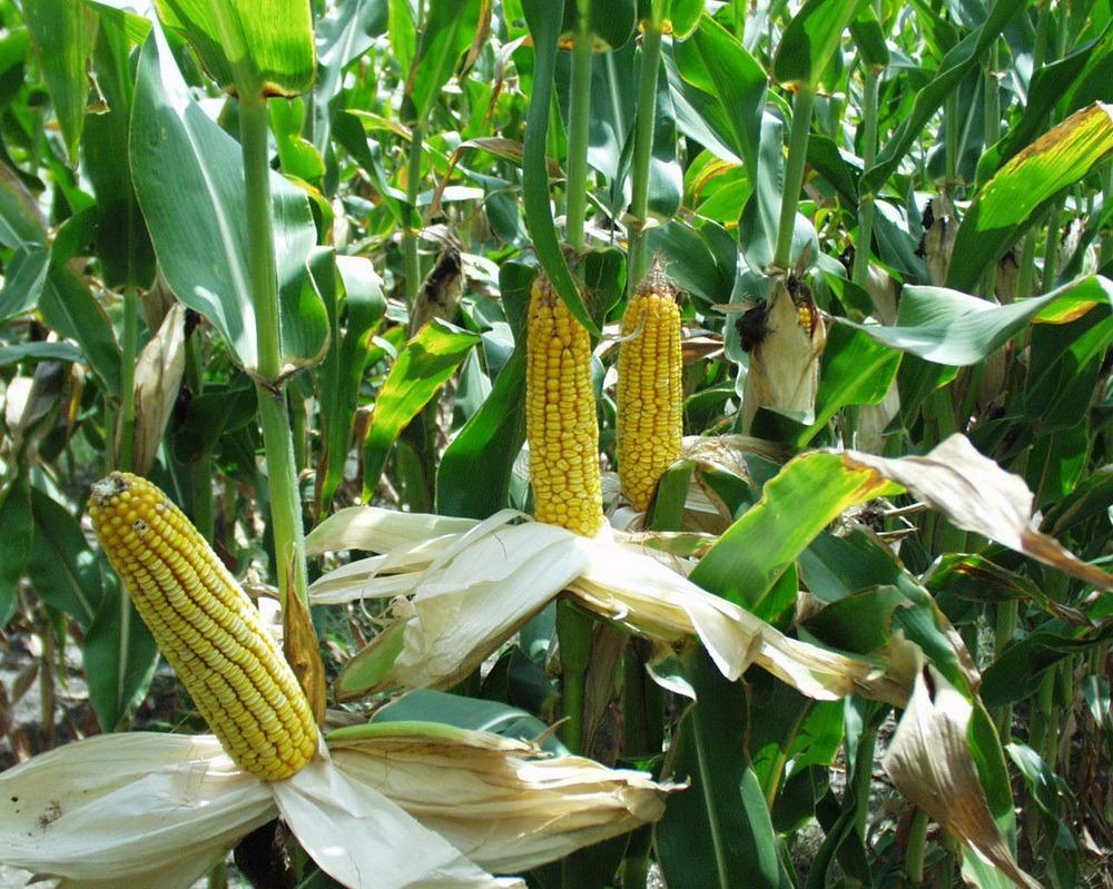 В Америке придумали сенсорные браслеты для кукурузы