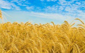 Египет не принимает российскую пшеницу