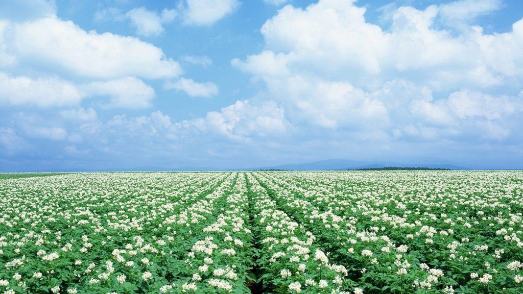 Немецких картофелеводов засуха спасла от фузариоза