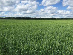 Влияние предшественников на урожайность сортов озимой пшеницы на южных черноземах Волгоградской области