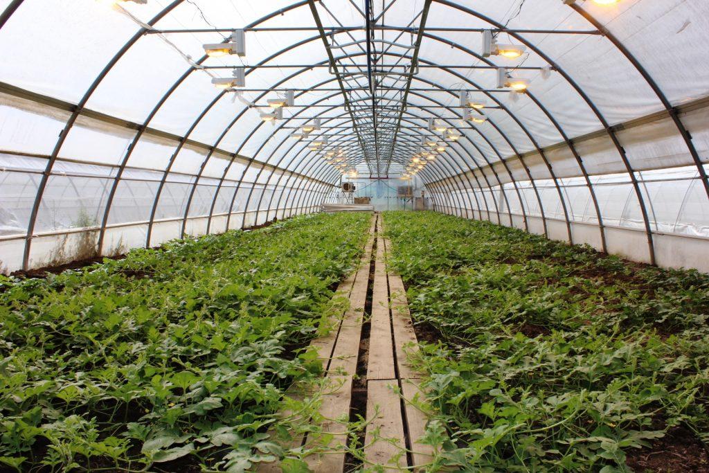 Тепличное овощеводство – перспективное направление развития растениеводства в Российской Федерации