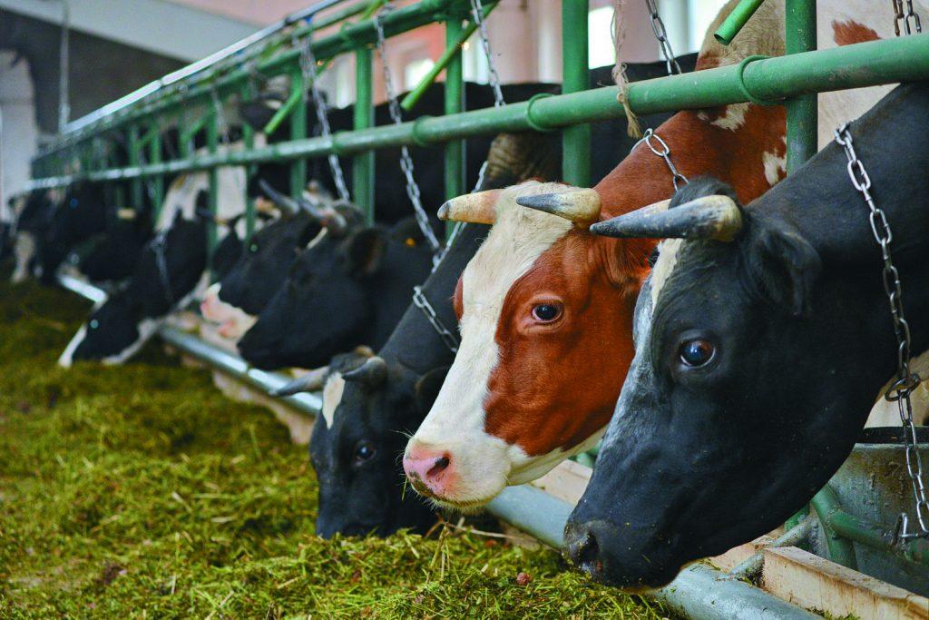Молочное животноводство: породы и особенность содержания