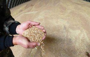 Зерно снова дешевеет: что делать?
